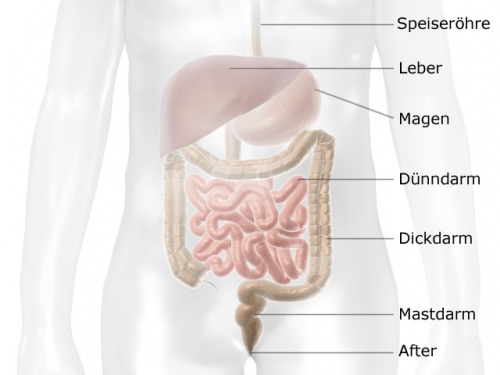 Grafik: Lage des Darms im Verdauungssystem