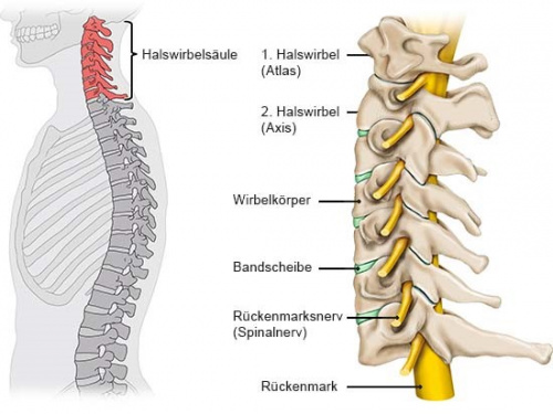 Grafik: Aufbau der Halswirbelsäule: Knochen, Bandscheiben und Nerven