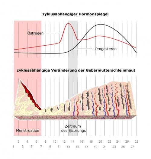 Grafik: Verlauf des Menstruationszyklus