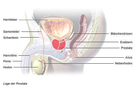 Grafik: Lage der Prostata - wie im Text beschrieben