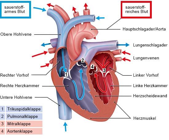 Grafik: Die Herzklappen sorgen dafür, dass das Blut in die richtige Richtung fließt
