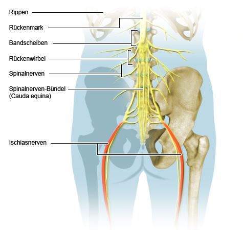 Illustration: Verlauf der Spinal- und der Ischiasnerven