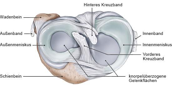 Grafik: Querschnitt des rechten Kniegelenks, Ansicht von oben