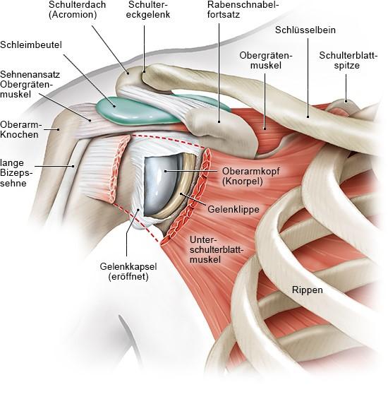 Grafik: Muskeln, Sehnen, Schleimbeutel und Knochen im Schulterbereich